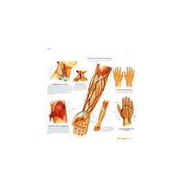 Lámina Cursos de los Vasos y Nérvios (3B) (50X67 cm)