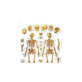 Lámina Esqueleto Humano (3B) (50x67 cm)