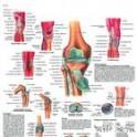 Lámina Articulación Rodilla (3B) (50X67 cm)