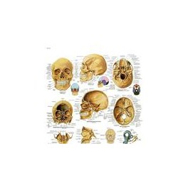 Lámina El Cráneo Humano (3B) (50x67 cm)